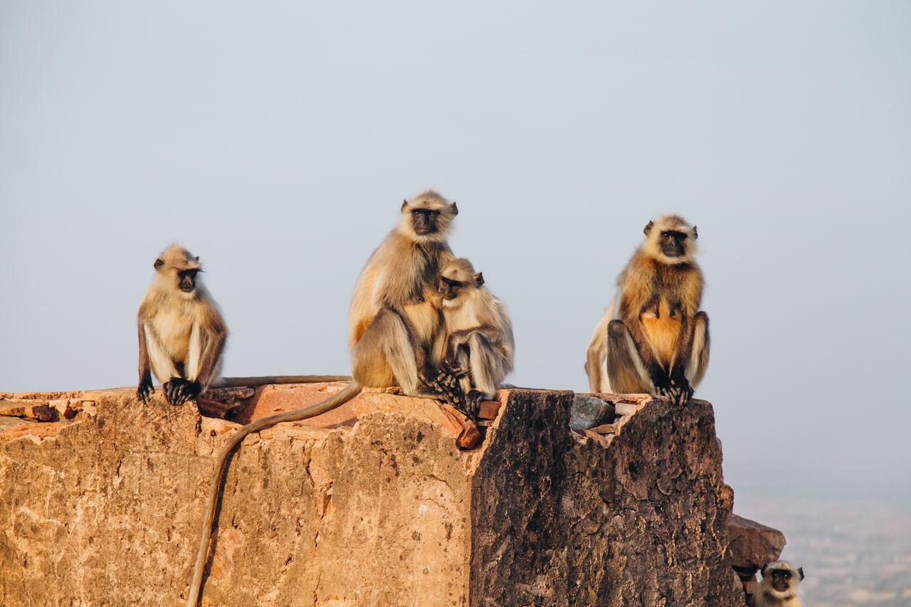 Animal Themes Animal Wildlife Animals In The Wild Baby Monkey Day Gray Langurs India Mammal Monkey Family Nature No People Outdoors Perching Pushkar Sitting