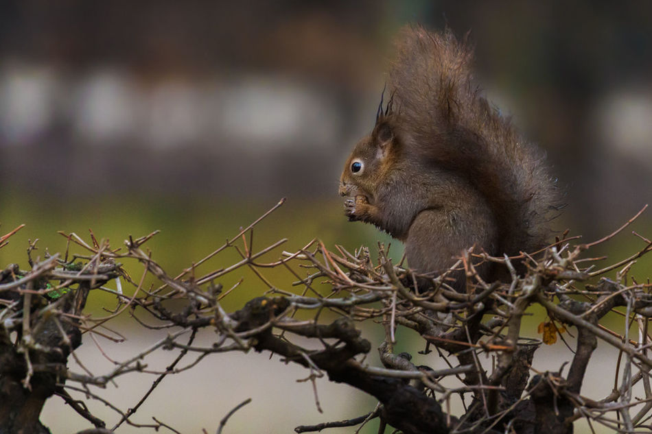 Beautiful stock photos of eichhörnchen, animal themes, one animal, animals in the wild, branch