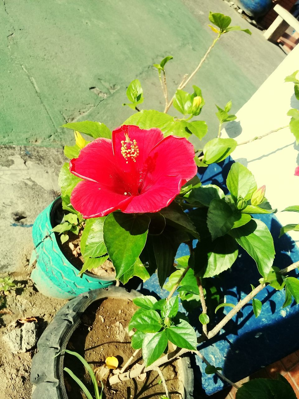 flower, plant, leaf, growth, nature, petal, beauty in nature, no people, fragility, day, outdoors, potted plant, high angle view, freshness, green color, flower head, red, blooming, sunlight, close-up, hibiscus