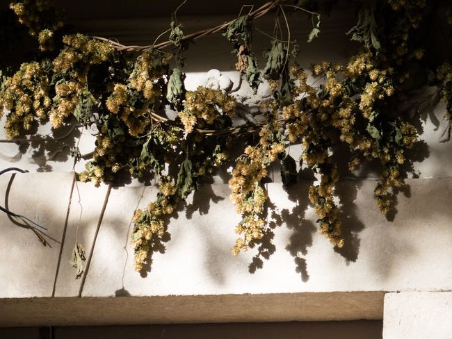 Dried hops above an entrance Backgrounds Beer Beer Brewing Brewery Close-up Copy Space Golden Hour Hops Nature Shadow