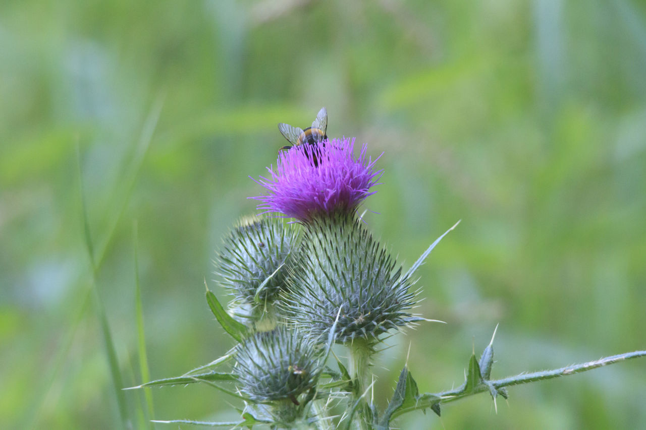 nature, flower, growth, beauty in nature, day, focus on foreground, green color, plant, fragility, outdoors, thistle, no people, animal themes, one animal, flower head, freshness, close-up