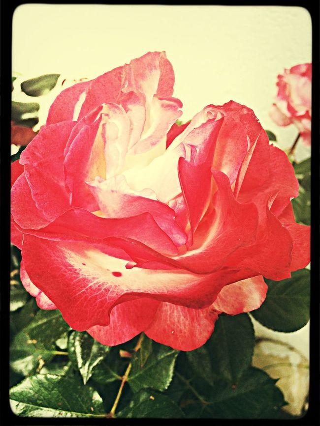 Flower Summer Taking Photos ✨Ich schätze Menschen, die verletzlich und verwundbar sind. ✨ Ich achte Menschen, die zu ihrer Meinung stehen und sich selbst nicht verleugnen, die aufstehen wenn sie gefallen sind, die ihr leben wirklich leben. ✨ Ich mag Menschen, die nicht nur ihr eigenes leben sehen, die dir auch die Hand reichen und dir sagen, schön, das es dich gibt, einfach so, weil du bist, wie du bist und nicht weil sie dich gerne hätten, wie sie wollen ✨ (Unbekannt) Flowers Flowerporn Roses