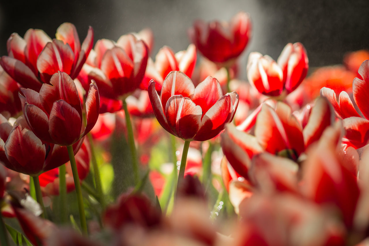 Red tulips in the garden Beauty In Nature Blooming Floral Flower Flowers Growth Nature No People Plant Ready-to-eat Red Turkey