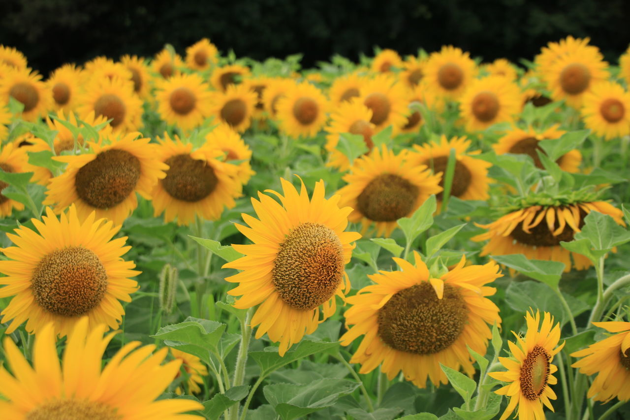 flower, growth, nature, plant, petal, yellow, beauty in nature, freshness, fragility, flower head, outdoors, sunflower, day, no people, field, blooming, close-up, springtime