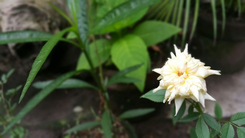 Galaxy Note 4 White Rose Selectivefocus Phoneography Amateurphotography Mattgn4adventure