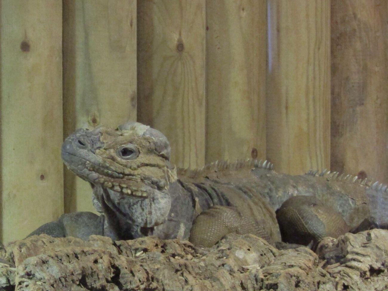 Iguana Lizard Lizard Nature Close-up