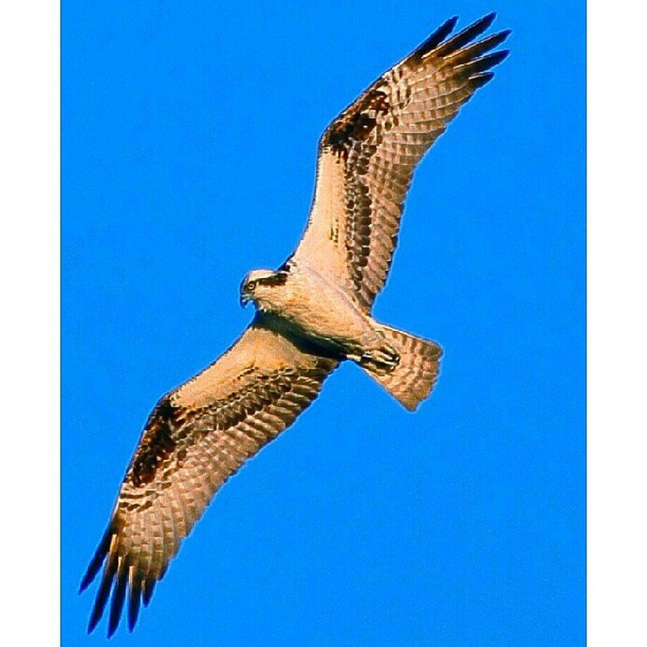 Osprey Amazing_birds Allmightybirds Birds_n_branches Birdfreaks fabfaunas feather_perfection feather_features nuts_about_birds nature_perfection underdogs_feathers whatschirping wildlife_perfection