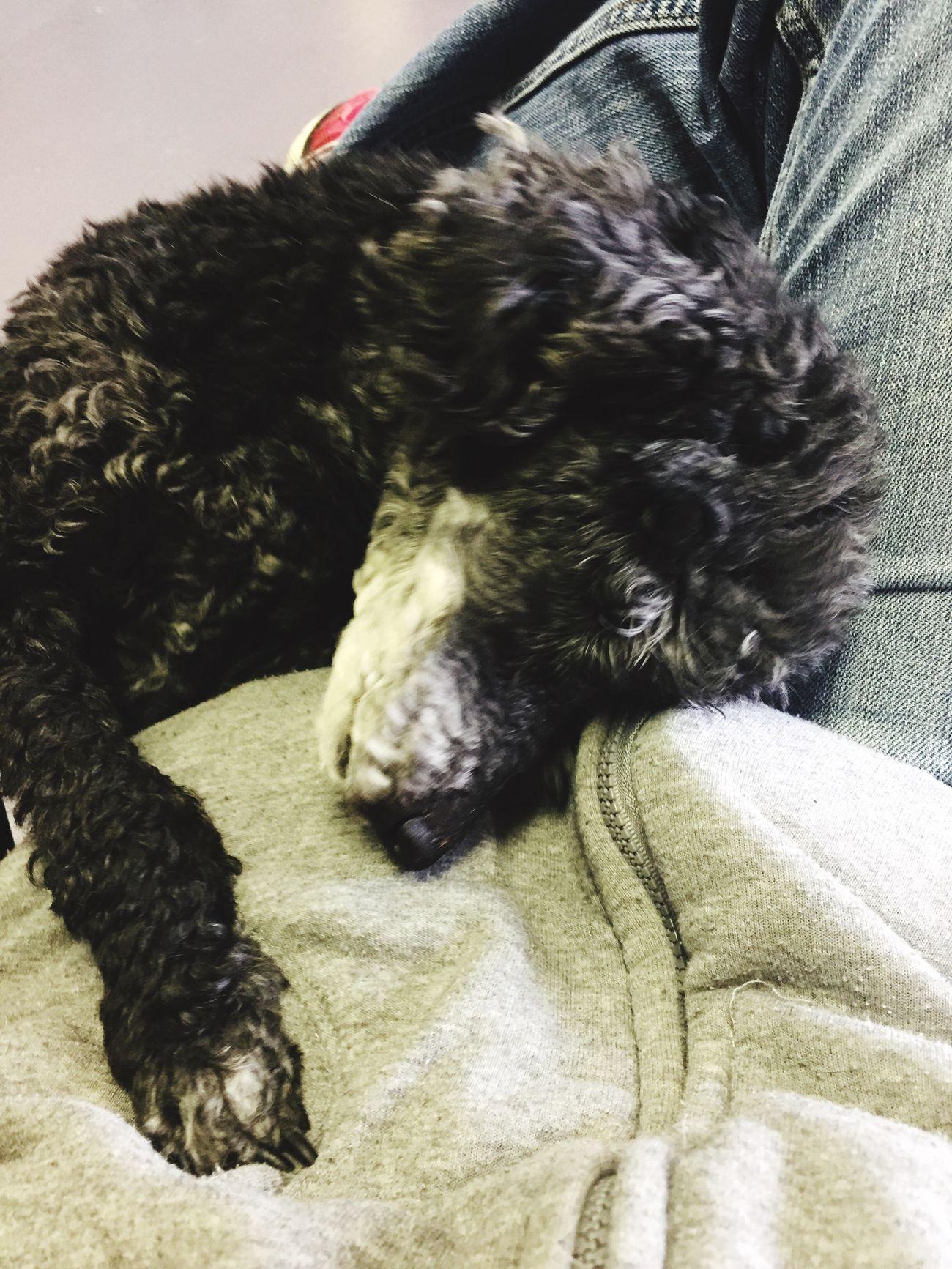 Poodle Love Hugs & Love  Dog The Bearded Groomer Love ♥