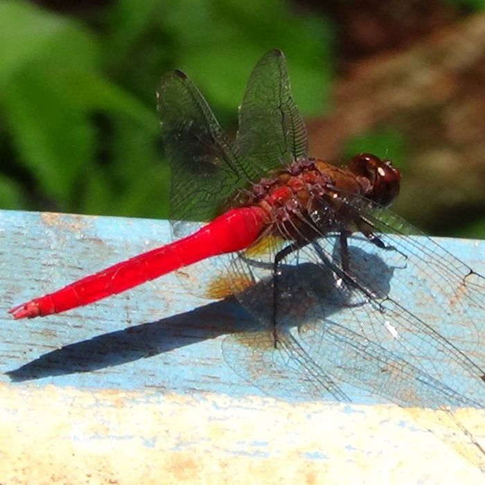 Redtail Dragonfly Nature Kirby 'sDropwingLikeforlike Followforfollow .