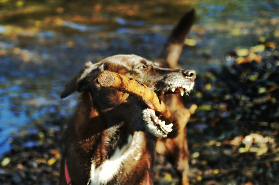 Dangerous!!!! 'my Stöckchen ' Who Is Bold Enough...!? Big Dog Outdoors Open Mouth Big Teeth Animal Themes Nautical Vessel Scenics Action Shot  Dog Having A Good Time DogWalkingAdventure In The River Valley Low Angle View Nature No People Kinzig River Langenselbold Germany🇩🇪