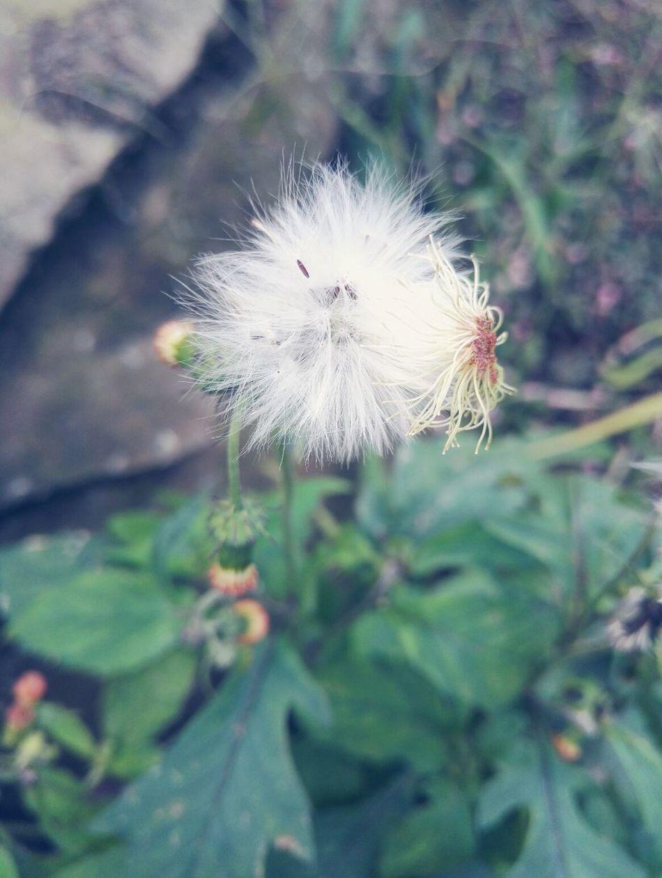 蒲公英 Flower Head Flower 花朵 Flowers,Plants & Garden Flower & Butterfly