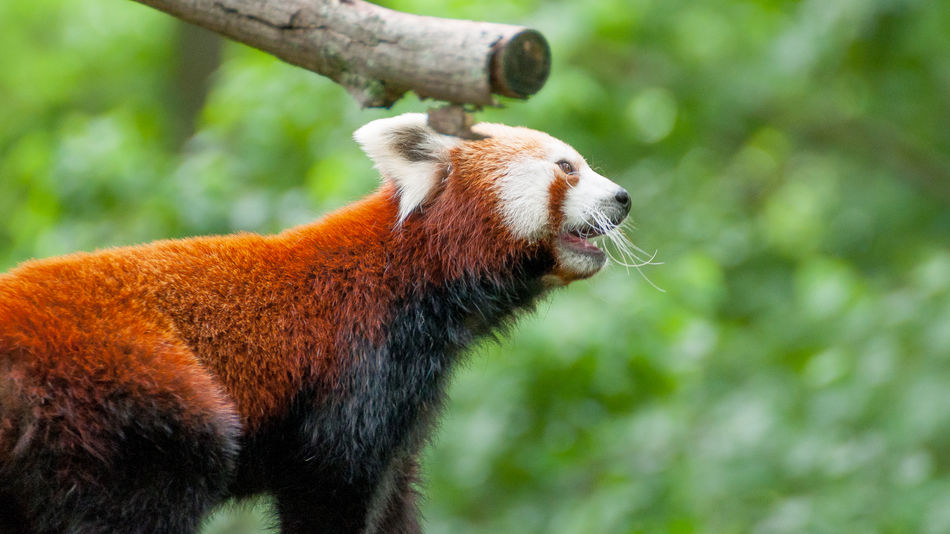 Animal Themes Animal Wildlife Animals In The Wild Branch Close-up Day Focus On Foreground Mammal Nature No People One Animal Outdoors Panda - Animal Red Red Panda Red Panda Tree