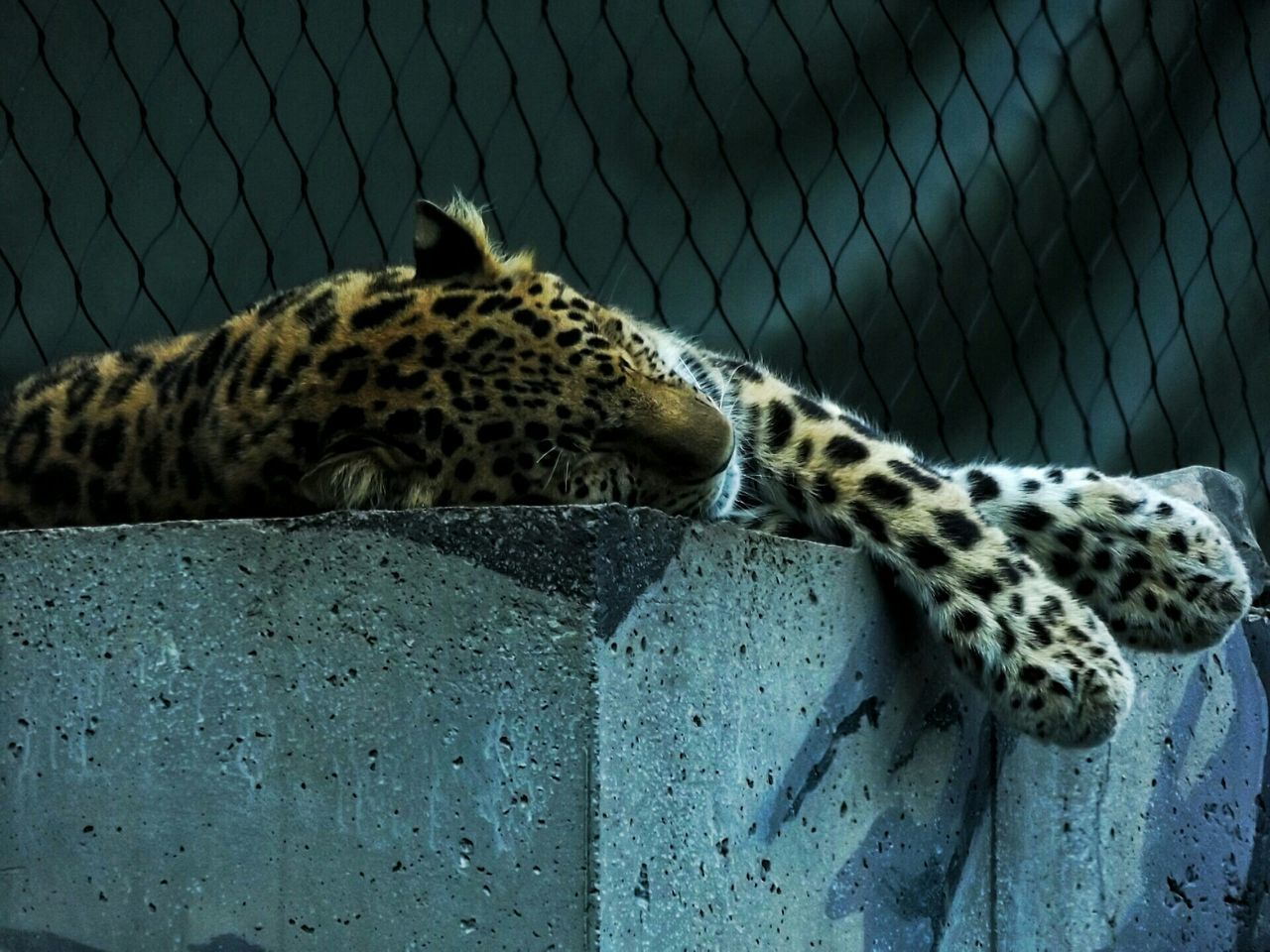 Beautiful stock photos of jaguar, Animal Markings, Animal Themes, Animals In Captivity, Cage