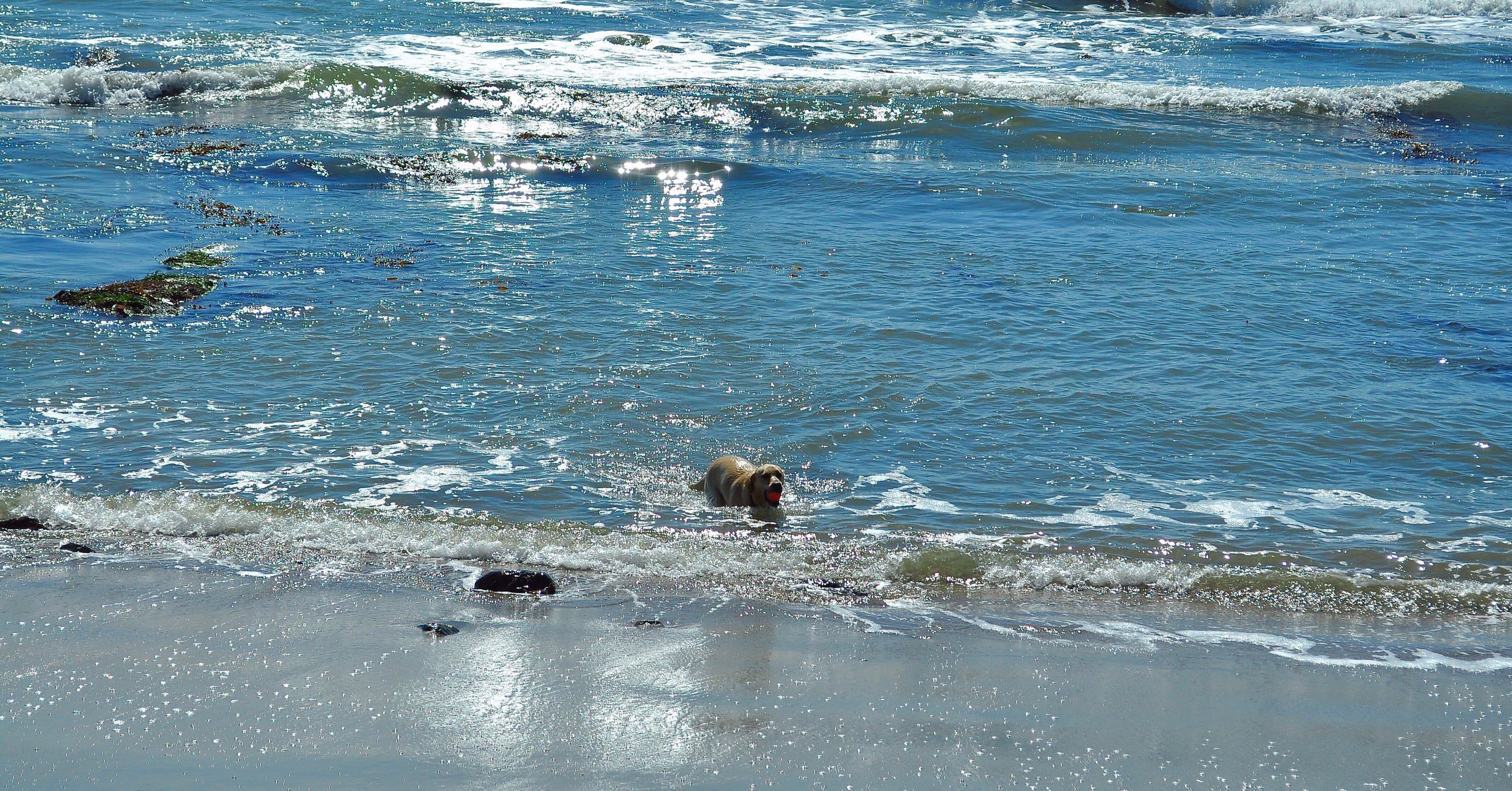 animal themes, water, one animal, animals in the wild, sea, wildlife, dog, mammal, swimming, high angle view, beach, nature, waterfront, pets, wave, domestic animals, shore, rippled, day, bird