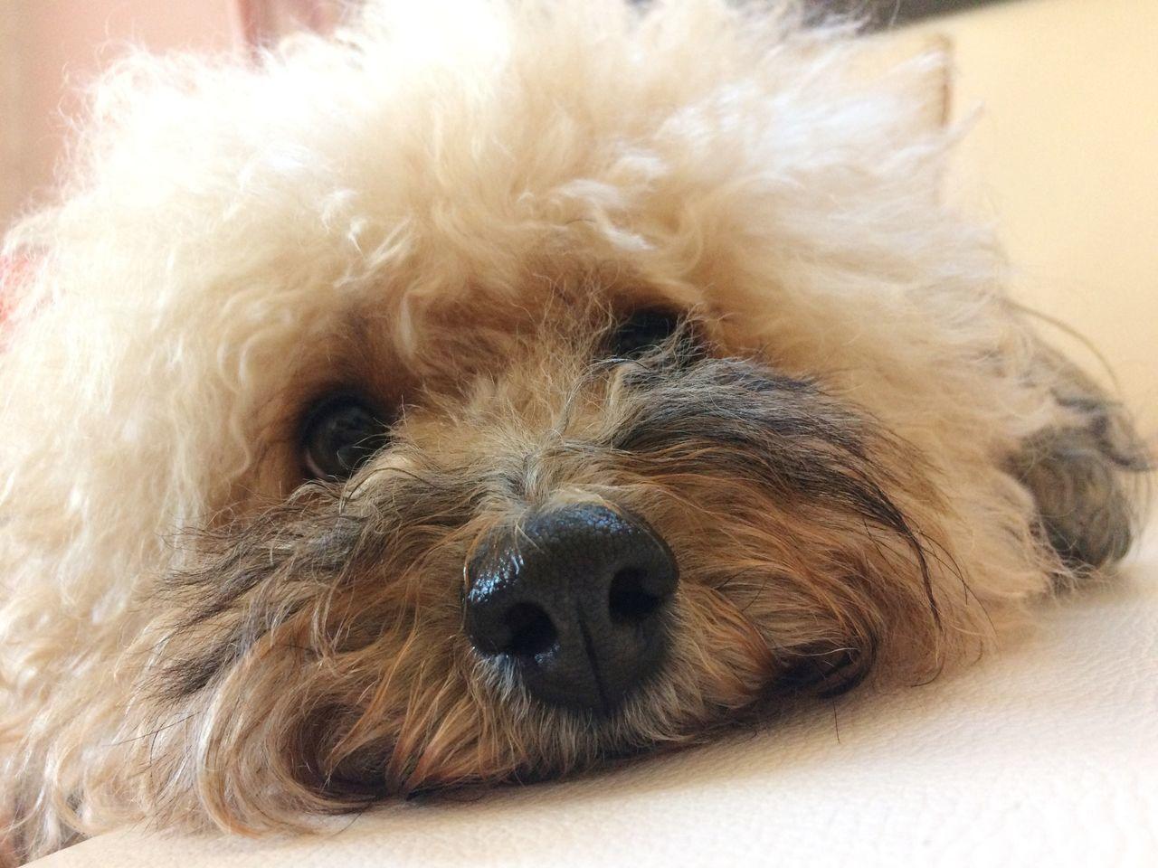 Dog Pets Mammal Poodle Animal Themes One Animal Nose Nosedog Fur Dog Love Dog Face Dog Fur Eyes Dog