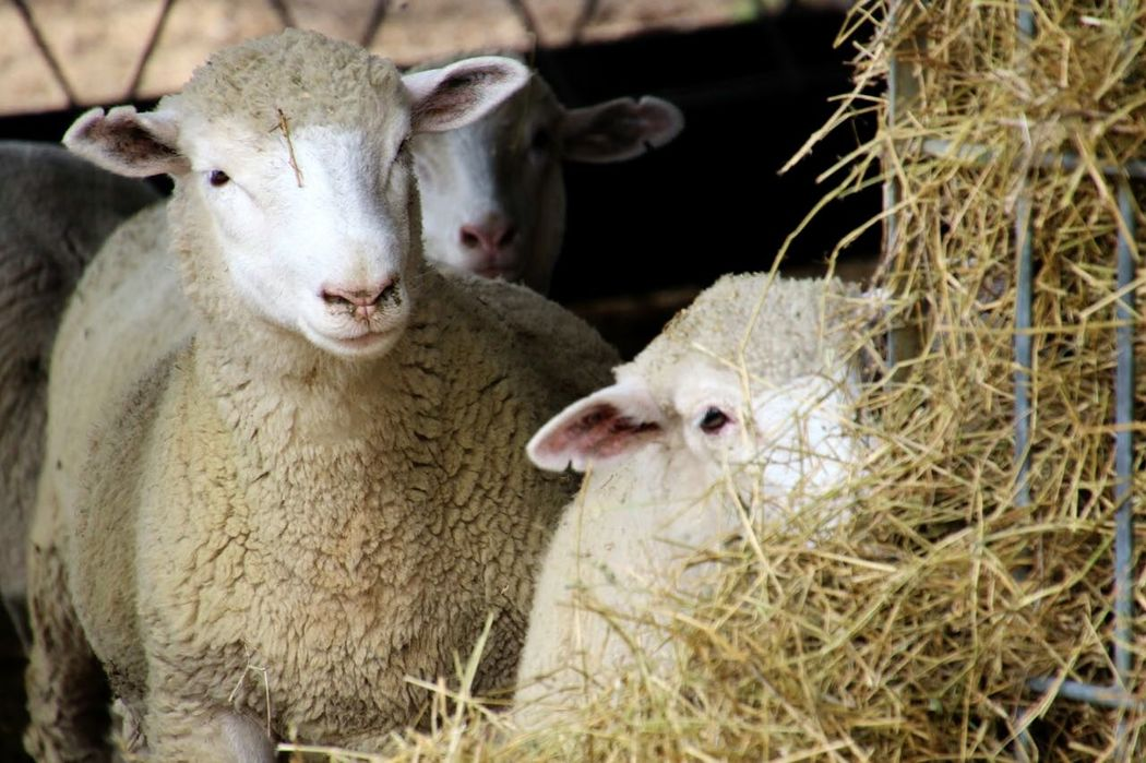 Sheep Agriculture Farm Nature Cute Wool Eating Alert Dormers Livestock Canonphotography