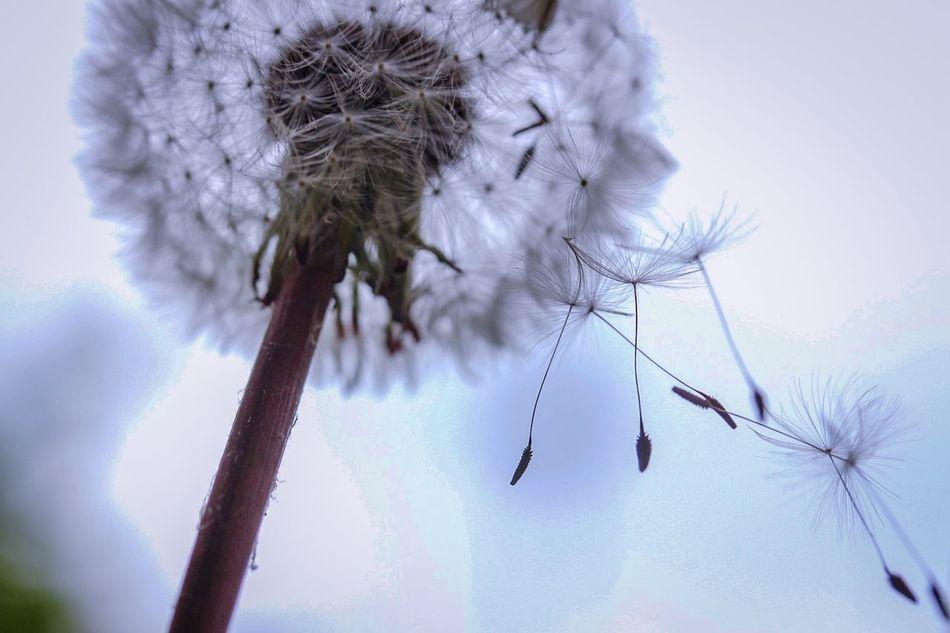 Beautiful stock photos of macro, Blossom, Botany, Close-Up, Dandelion