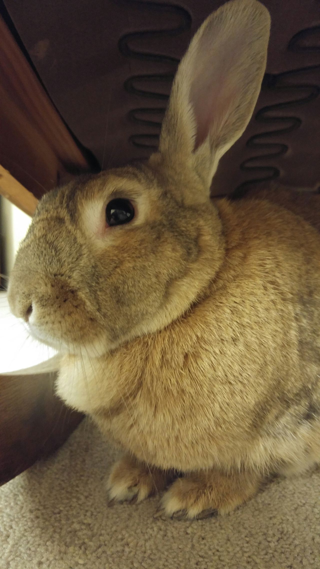 Rabbit Rabbit ❤️ Rabbits 🐇 Pets ricaedo the rabbit
