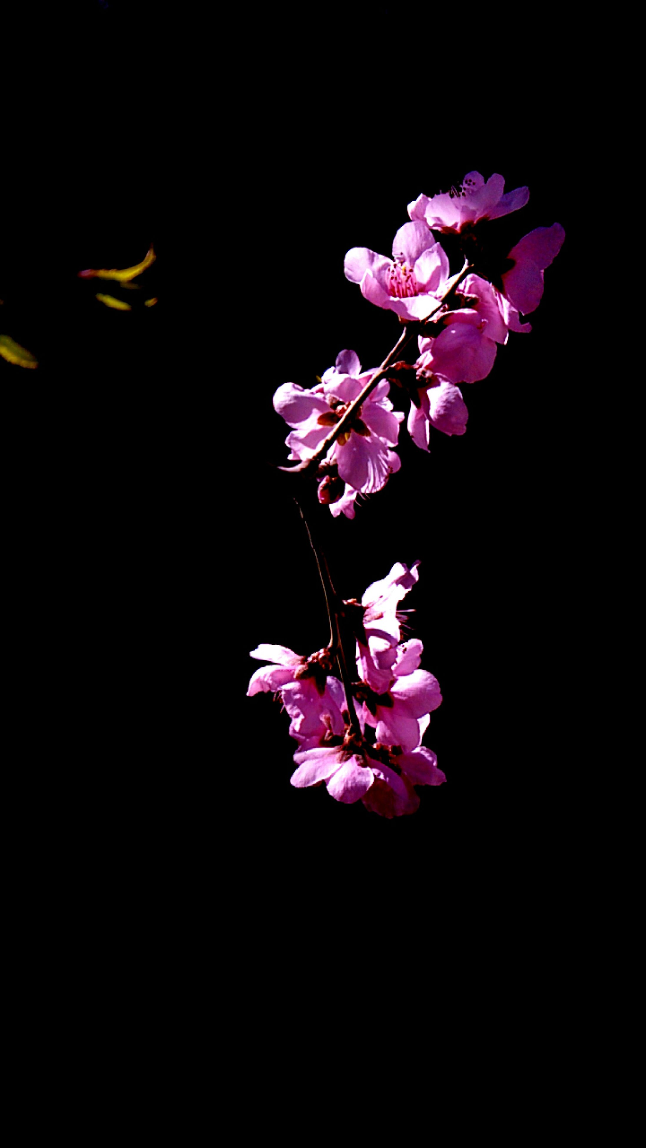 flower, freshness, fragility, petal, studio shot, growth, beauty in nature, pink color, copy space, black background, nature, flower head, close-up, blossom, night, in bloom, blooming, pink, stem, springtime