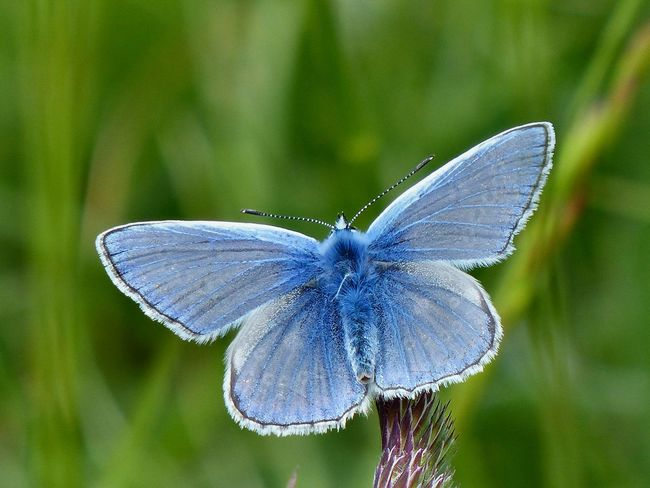 A Common Blue butterfly resting on a warm May day - 2016. Blue Butterfly Common Blue Common Blue Butterfly Countryside East Sussex England Hove South Downs South Downs National Park