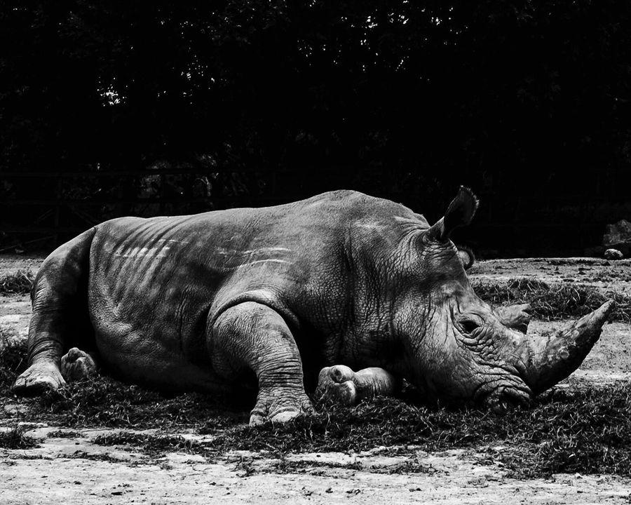 Rinoceronte blanco Whithe Rhino Wildlife Blackandwhite Nature Animals Posing Animal Photography