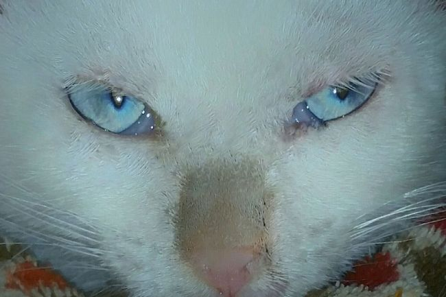 Cat Blue Eyes White Cat Kitten Cats Of EyeEm Cat Photography Watching You Looking Through You Gateway To The Soul American Bobtail Cat American Bobtail Cats No Tail Manix Cat Trucker Cats My Cat Cute Kitten Blonde Siamese Kitten Rare Breed  Sleepy Kitty Cat Napping