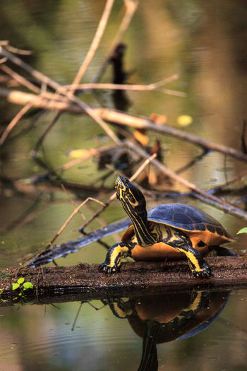 Florida redbelly turtle Pseudemys nelson perches on a cypress log in the Corkscrew Swamp Sanctuary in Naples, Florida Florida Redbelly Turtle Marsh Pond Pseudemys Nelsoni Reptile Swamp Wildlife & Nature Animal Themes Animals In The Wild Chelonian Corkscrew Swamp Day Herp Herpetology Nature No People One Animal Outdoors Redbelly Turtle Shell Turtle Water Wetlands Wild Life Wildlife