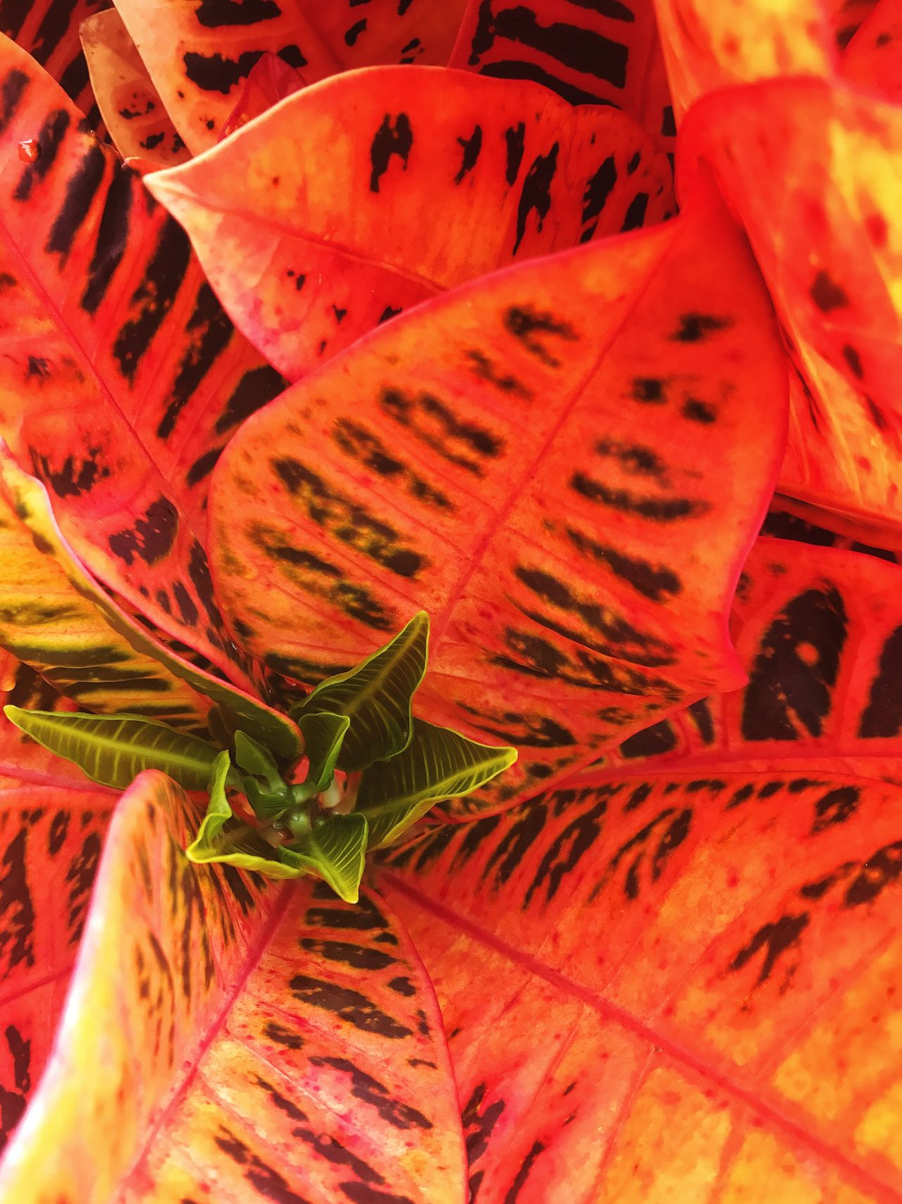 Mars... it could be. We don't know yet. Orange Color Nature Fragility Backgrounds Leaf Close-up Growth Plant Beauty In Nature Full Frame Pistil Botanical Botany Botanic Textures And Surfaces Flower Macro Divine Proportion Pattern Pattern, Texture, Shape And Form