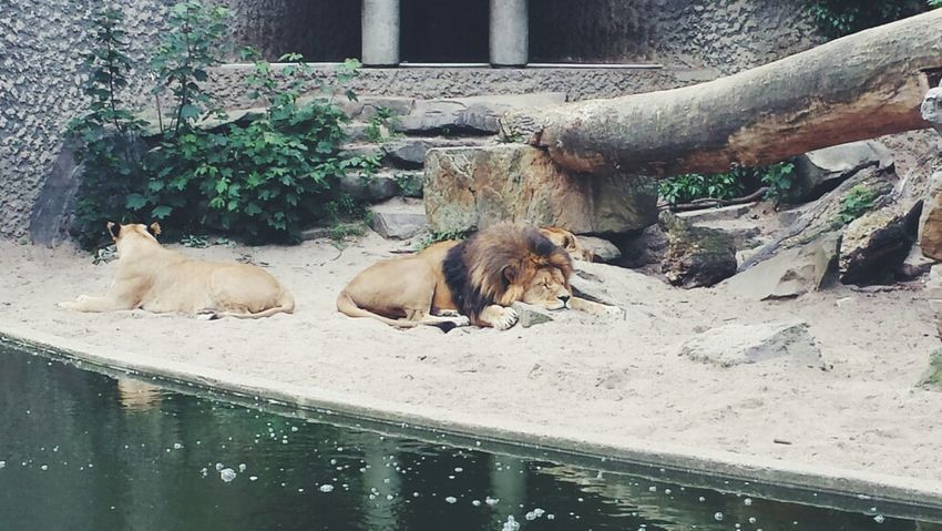peaceful Taking Photos Relaxing Annimals Lion