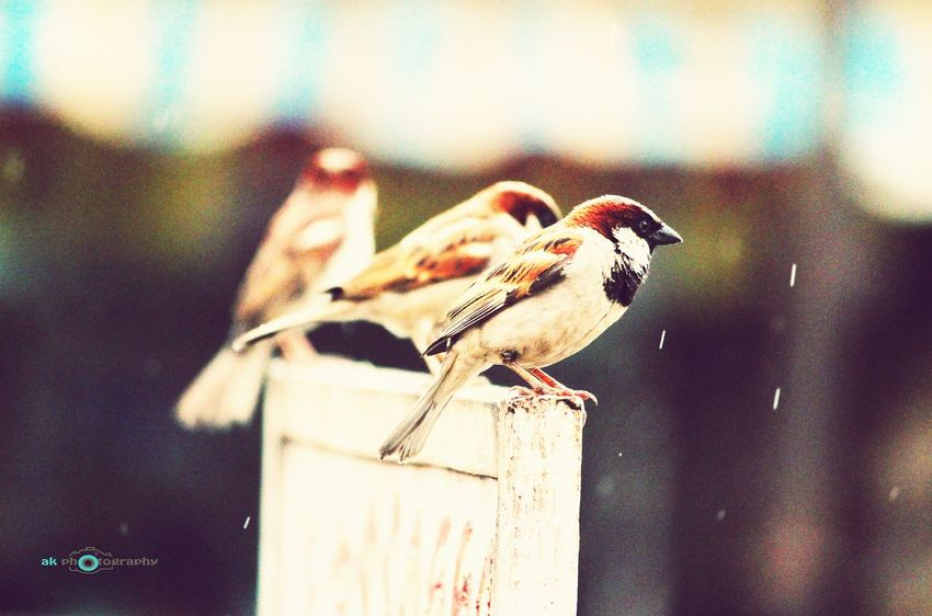 Sparrows enjoying the rain.. Sparrow Bird OotY_hiLLz Rain Ak  Canon600D Animals In The Wild Perching Animal Themes Animal Wildlife One Animal Bird Day Focus On Foreground No People Nature Outdoors Close-up Sparrow First Eyeem Photo