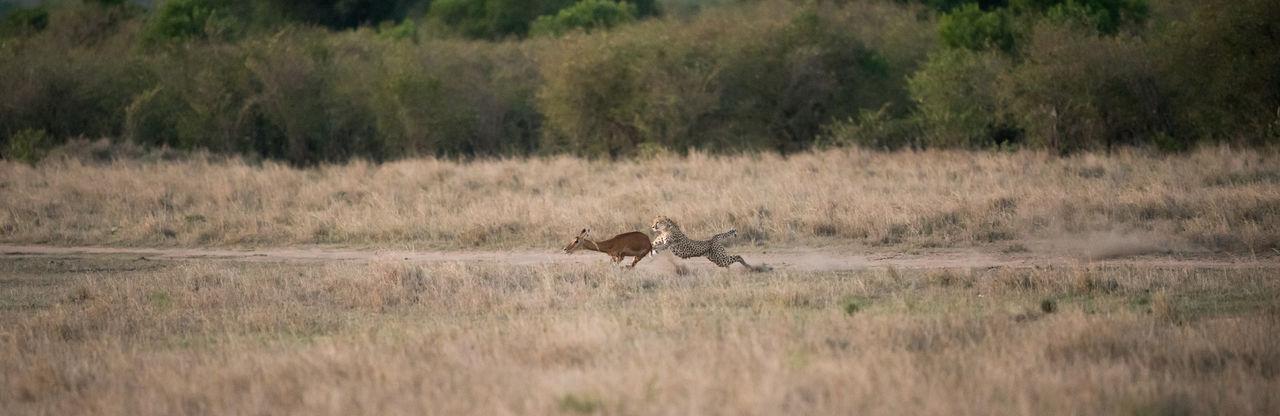 Africa Animal Themes Animal Wildlife Animals In The Wild Cat Chase Cheetah Cheetah Hunt Kenya Kill Mammal Masai Mara Nature No People Safari Safari Animals