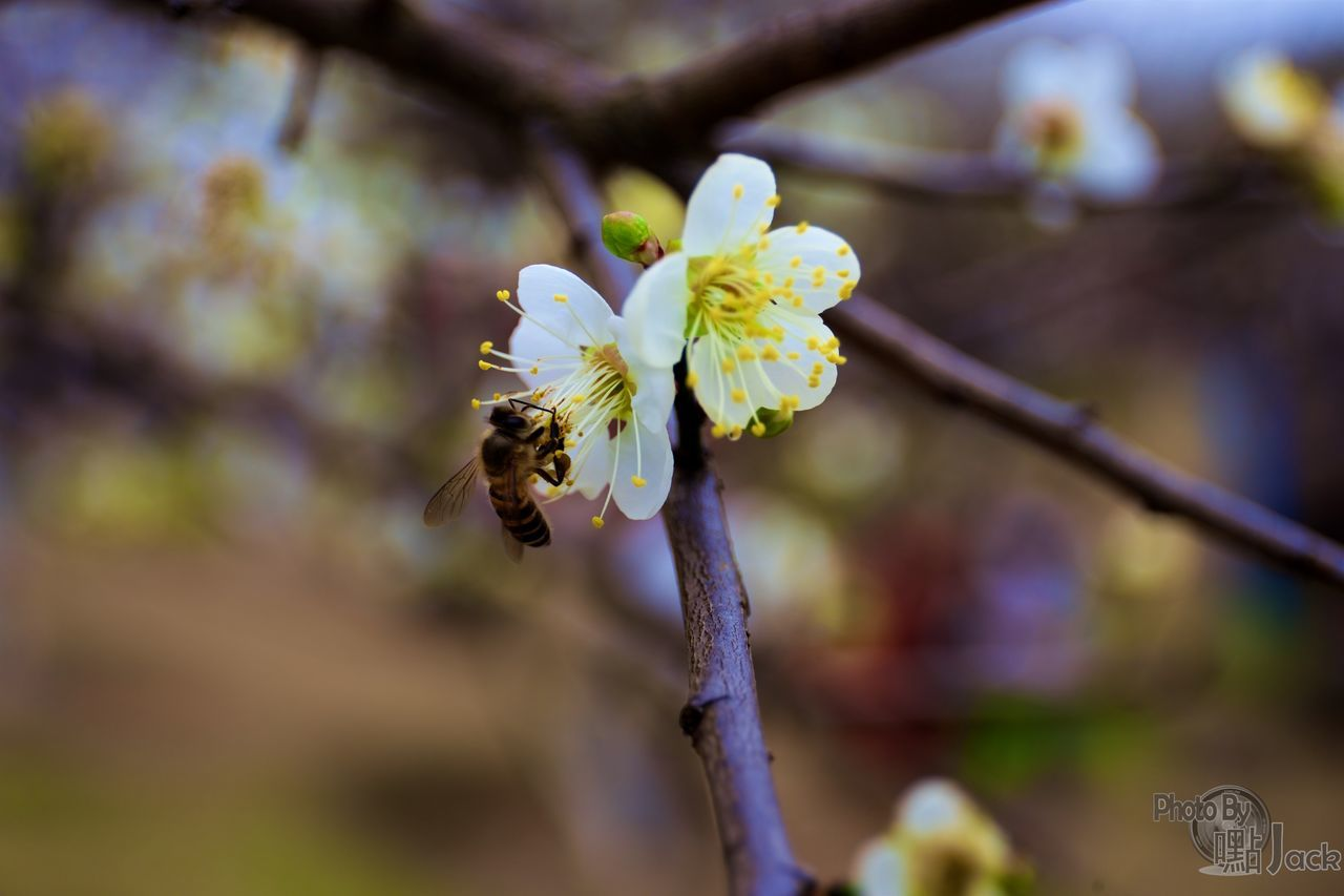 flower, fragility, petal, nature, beauty in nature, growth, bee, freshness, flower head, day, plant, blossom, outdoors, no people, close-up, springtime, blooming, pollination