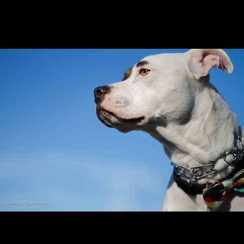 One Animal Pets Dog Animal Themes Domestic Animals Mammal No People Close-up Sky Outdoors Day Field PitBullNation Pitbull Love