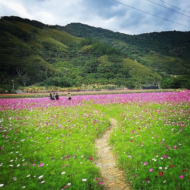 The scenery was beautiful beyond description. 去池上的路上 Taiwan Taitung 台東 台灣 花海 台9線 路邊野花美 flower mountain view scenery 關山 鹿野