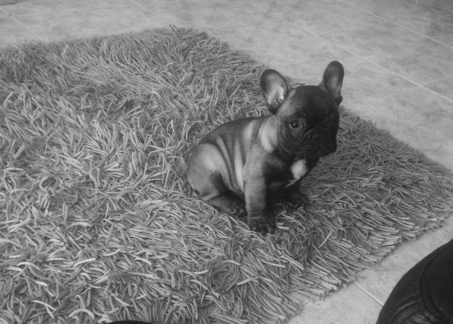 Frenchbulldog Animal Themes Domestic Animals Dog Babydog Pets One Love❤