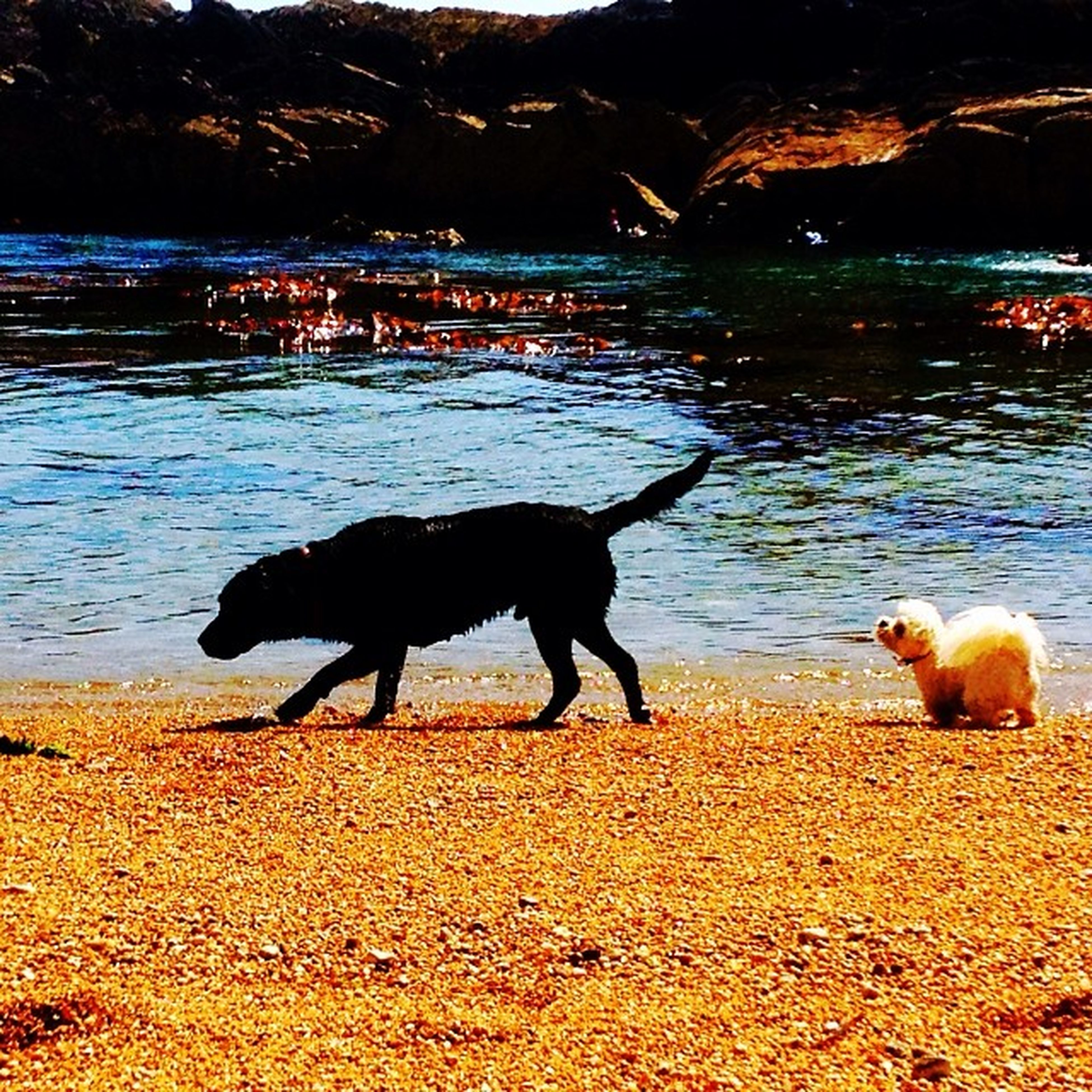 animal themes, water, domestic animals, mammal, black color, pets, beach, two animals, one animal, full length, river, side view, dog, shore, lake, nature, sunlight, outdoors, riverbank, standing