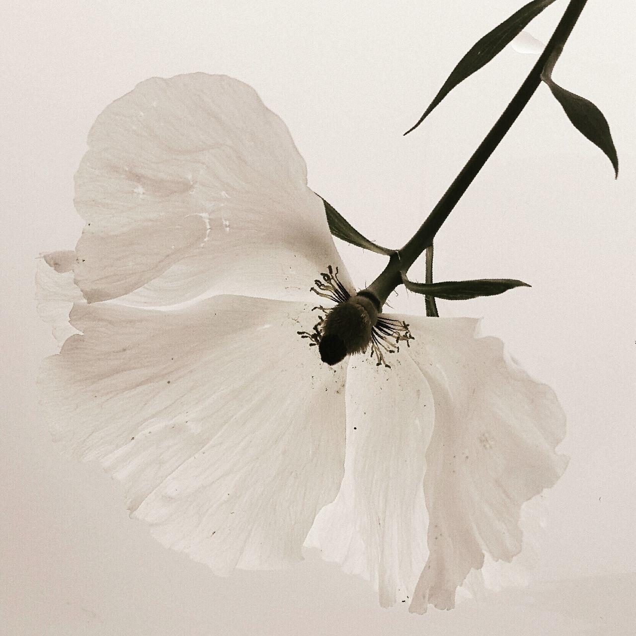Poppy California Poppy White Flower July Showcse Flower
