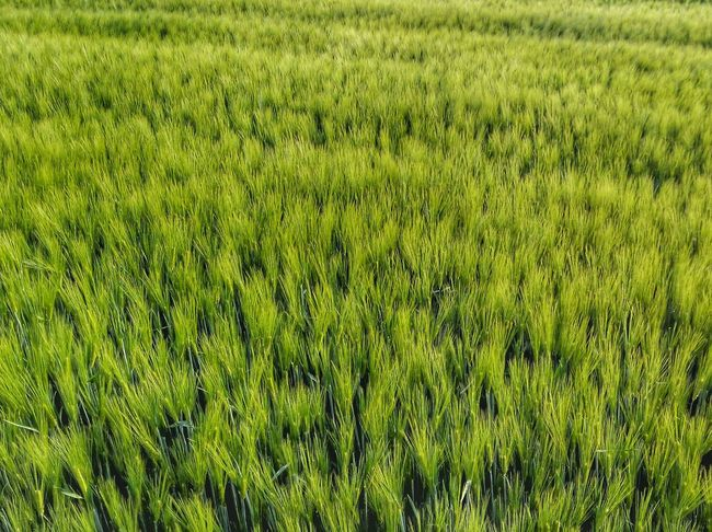 Nature's Diversities Cornfield Green Color Nature Nature_collection Nature Photography Naturelovers Androidography Smartphonephotography Smartphone Photography Hdr Edit Hdr_Collection Hdr_lovers Hdr_captures Flowers Winweiler Germany GERMANY🇩🇪DEUTSCHERLAND@ Germany🇩🇪