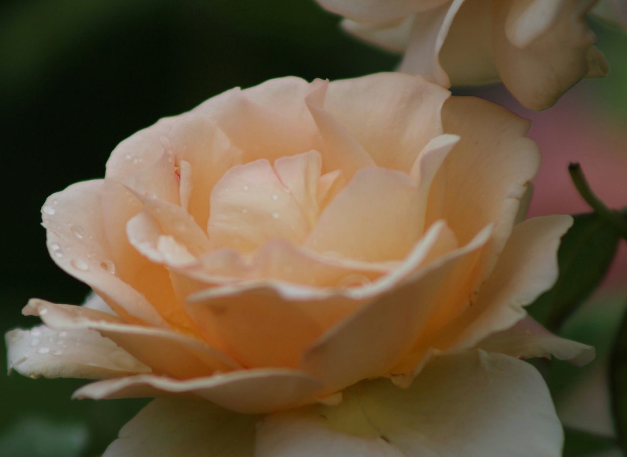 flower, petal, beauty in nature, nature, flower head, freshness, rose - flower, fragility, plant, growth, blooming, close-up, no people, outdoors, water, day