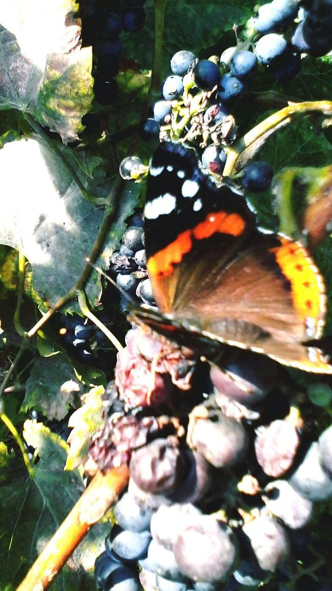 Butterfly Eating Grape's Juice Focus On Foreground Nature Close-up Beauty In Nature Outdoors Slowfood Vineyard @wolfzuachis Eyeem Market Wolfzuachis Edited By @wolfzuachis Insect Colorful Grapes Butterfly Collection Ionitaveronica Butterfly Eating Fruits Showcase: October Showcase: 2016 Autumn Butterfly - Insect Multi Colored Butterfly