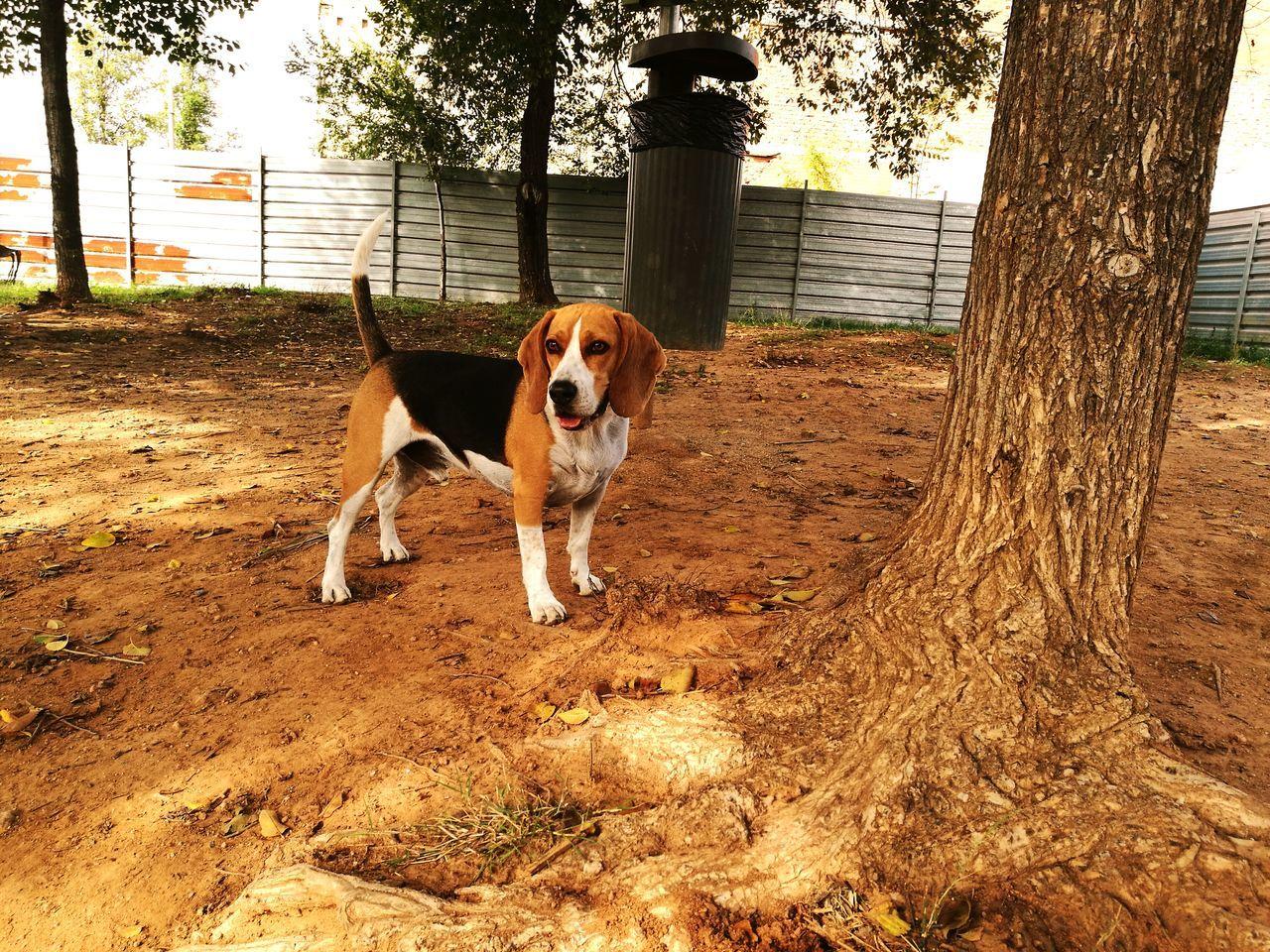 Beagle. Animal Themes Beagle Beaglelovers Beagleoftheday Beaglemix Beaglemania Beaglelove Gordo Bebe Dogslife Dog Day Domestic Animals Pets One Animal No People Nature First Eyeem Photo