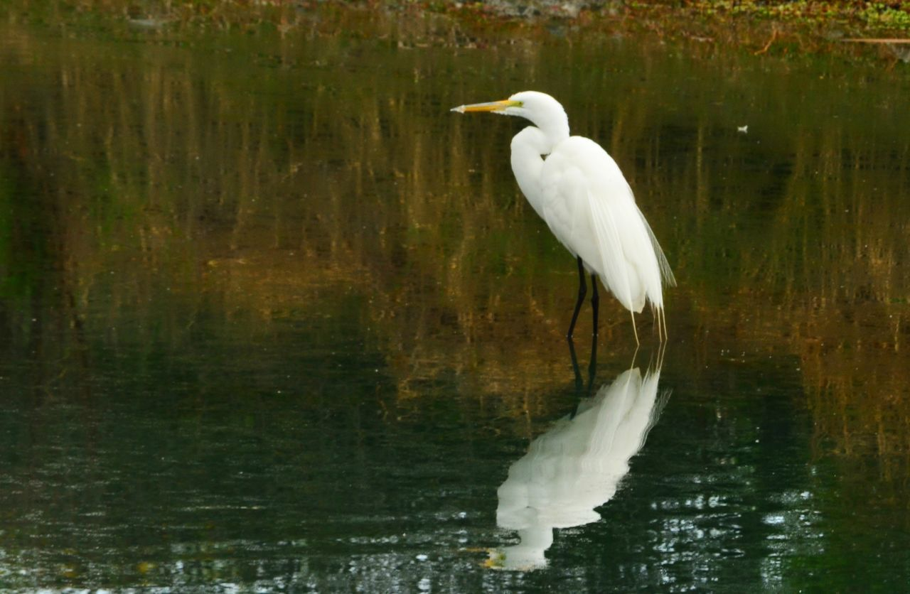water, one animal, bird, animals in the wild, animal themes, white color, lake, great egret, reflection, animal wildlife, waterfront, nature, day, egret, outdoors, beauty in nature, no people