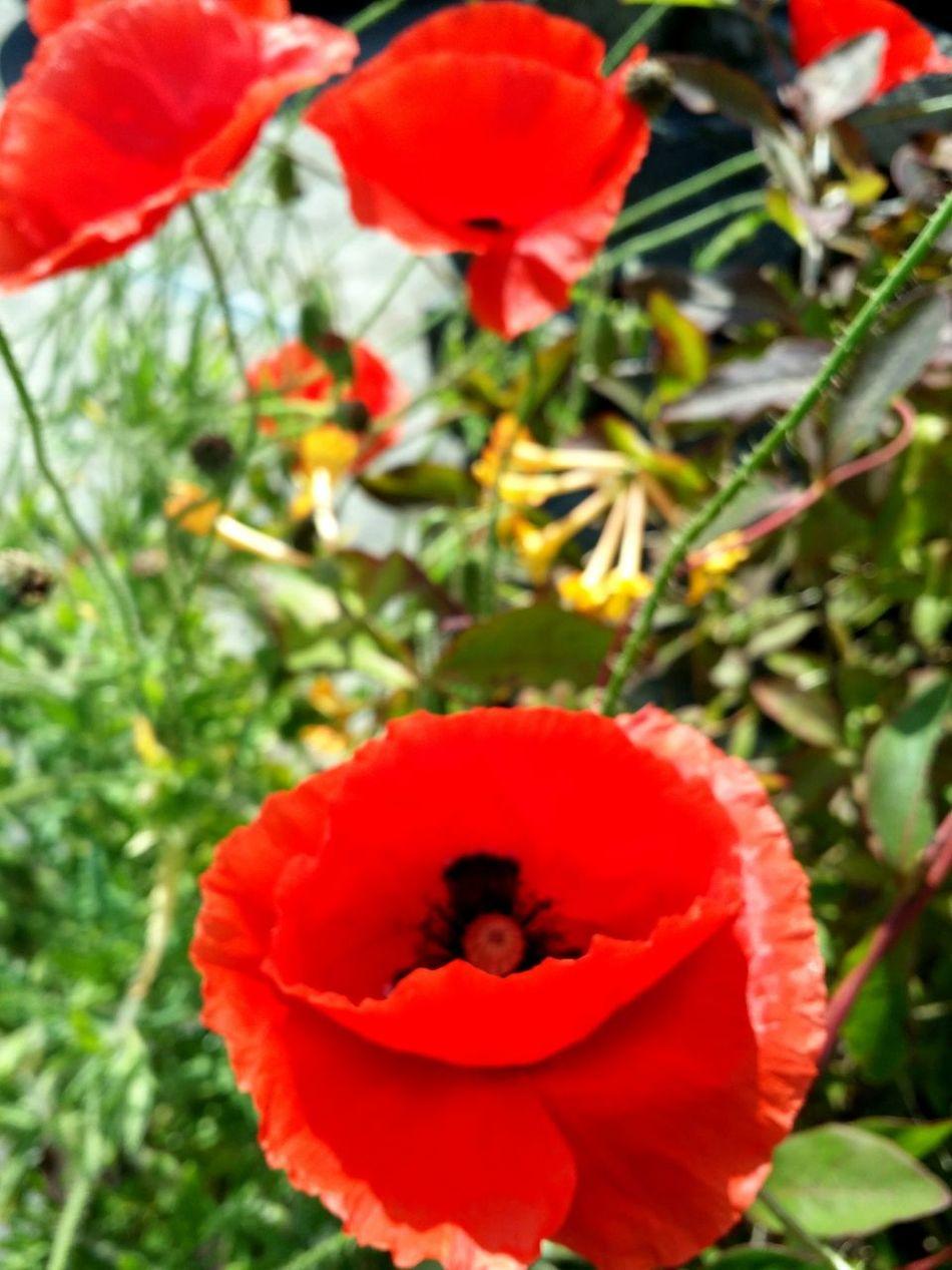 Poppies  Poppy