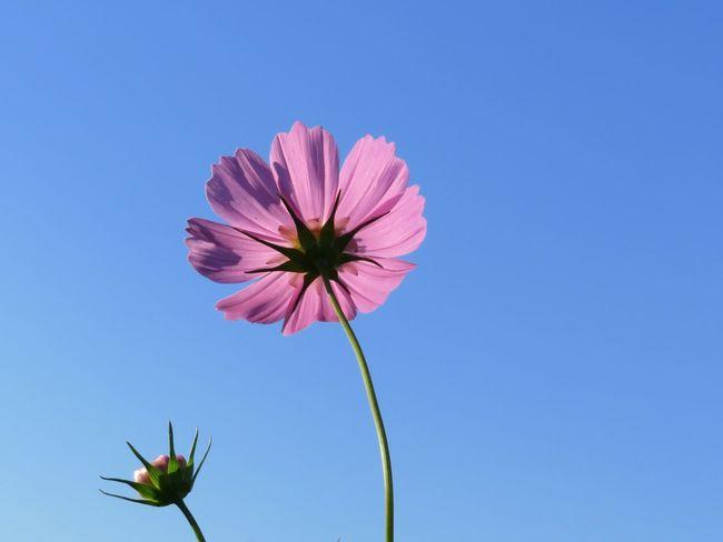 コスモス後ろ姿✨ Flower 秋の花 花 コスモス 秋桜 Cosmos Flower Cosmos