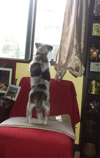 Who's out there? Animal Dog Dog Days Dog Life Dog Love Dog Photo Dog Photographer Dog Photography Dog Photos Dog Picture Dog Pictures Dog Portrait DogLove Dogs Dogs Life Dogs Of EyeEm Dogslife Dogsofeyeem Dog❤ Looking Out Of The Window No People Pets Terrier Mix Terriermix