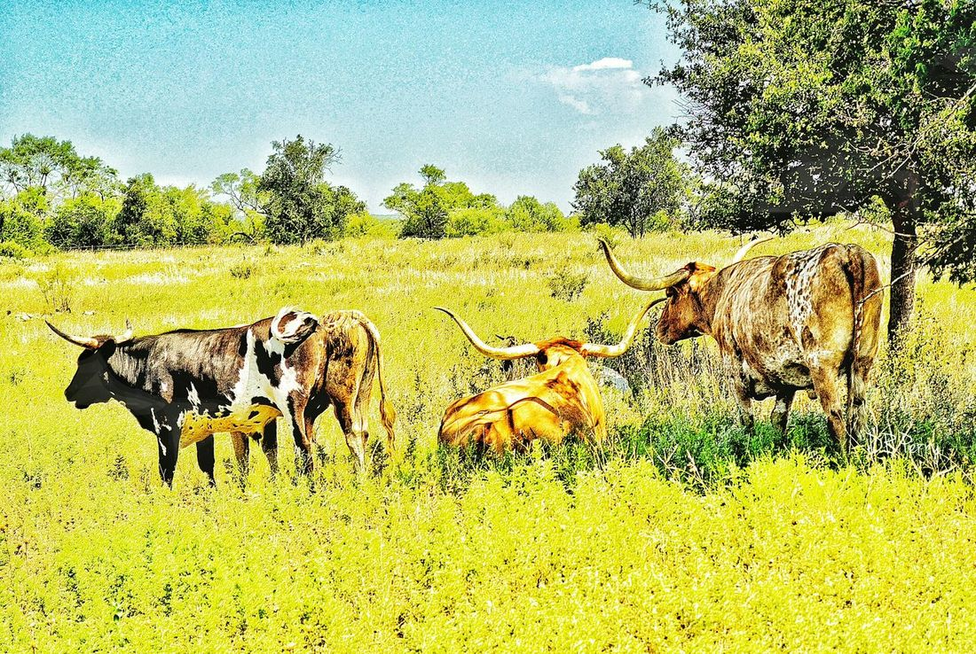 """""""Lazy Day"""" - Fort Griffin Historical Site, Texas Texas Skies Texas Landscape Longhorns Longhorn Photobydperry Fort Historical Site"""