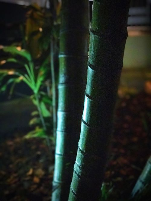 Tree Trunk Growth Bamboo - Plant No People Focus On Foreground Outdoors Tree Forest Day Nature Bamboo Grove Close-up Tranquility Beauty In Nature