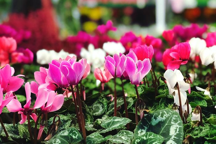 Flower Beauty In Nature Nature Petal Plant Fragility Freshness Flower Head Growth Pink Color Leaf Day Outdoors No People Close-up Blooming Springtime