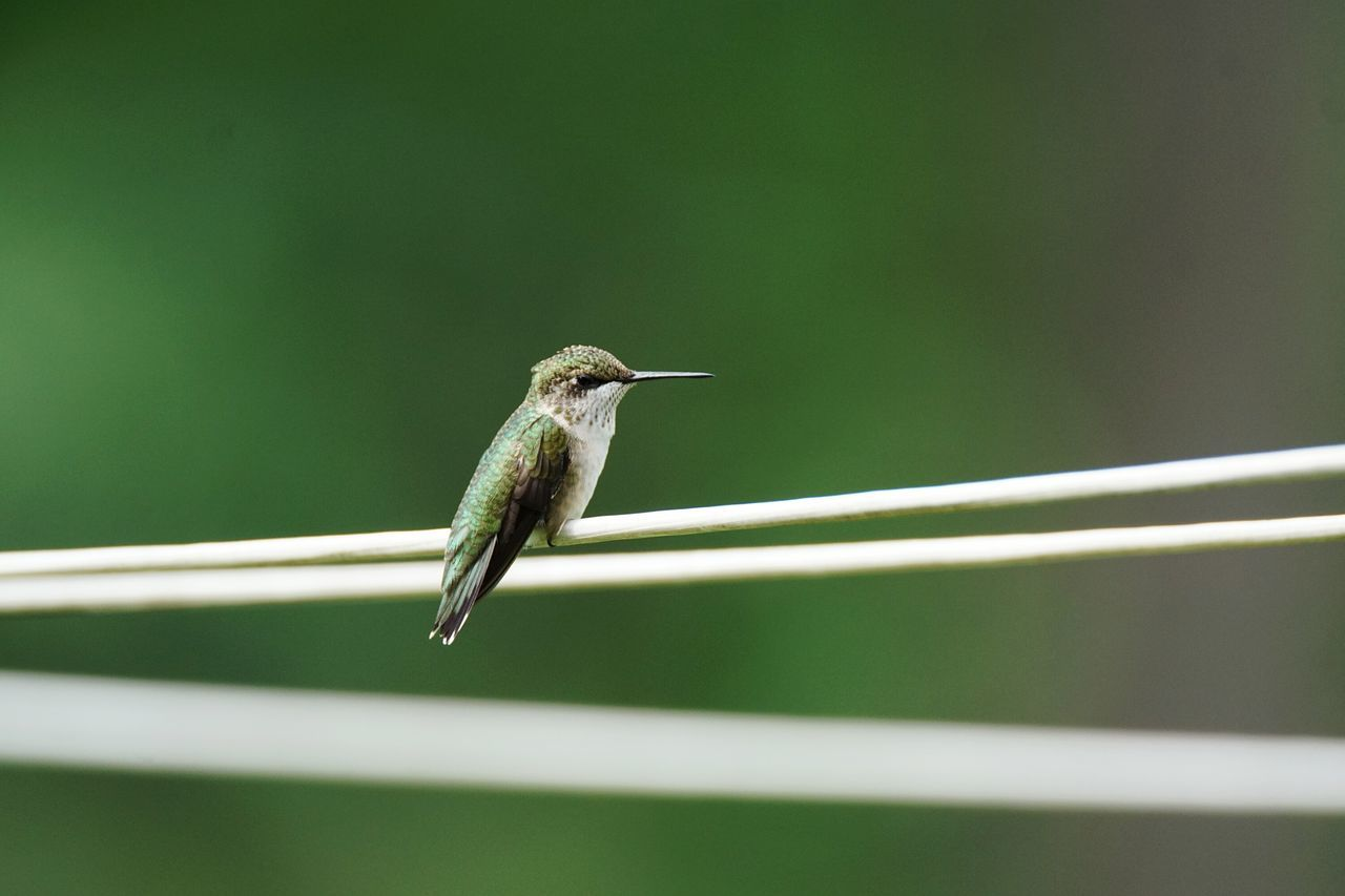 Ruby-Throated Hummingbird Bird Hummingbird Avian Tiny Bird