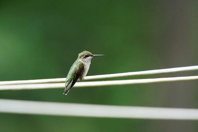 Ruby-Throated Hummingbird Bird Hummingbird Avian Tiny Bird